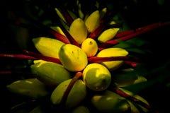 De gele boom van het papajafruit royalty-vrije stock fotografie