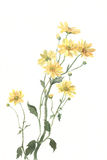De gele chrysant bloeit waterverf het schilderen Stock Foto's