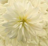 De gele chrysant van de pastelkleur Royalty-vrije Stock Foto's