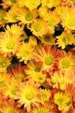 De gele close-up van het bloembed Stock Afbeelding