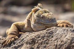 De gele close-up van de het landleguaan van de Galapagos stock fotografie