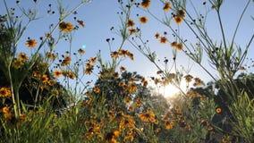 De gele dans van coreopsisbloemen in de zon` s stralen stock footage