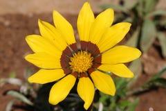 De gele die bloemlente in Petrich wordt geschoten Stock Foto's