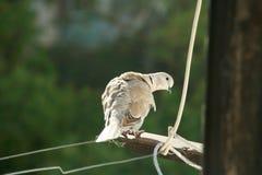 De gele duif vloog aan het balkon stock fotografie