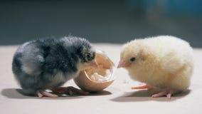 De gele en bruine kuikens plukken een eierschaal, omhoog sluiten stock footage