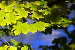 De gele en groene esdoorn doorbladert Stock Foto's
