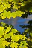 De gele en groene esdoorn doorbladert Stock Afbeeldingen