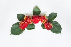 De gele en rode rozen worden opgemaakt in een halve cirkel op achtergrond Stock Foto's