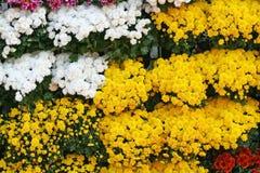 De gele en witte bloemen bloeiende die achtergrond, Chrysanten bloeit in Chiang Mai Flower Festival, in Februari van elk jaar wor royalty-vrije stock foto's