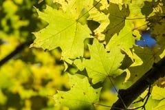 De gele Esdoorn verlaat in de herfst #2 Stock Afbeeldingen