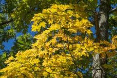 De gele Esdoorn verlaat in de herfst #3 Stock Fotografie