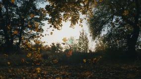 De gele esdoorn verlaat langzaam het vallen aan grond in herfst bos Heldere zon verlicht levendig dalend gebladerte Mooi stock footage