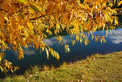 De Gele Espen van Colorado in Daling Stock Fotografie