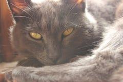De gele eyed kat stock afbeeldingen