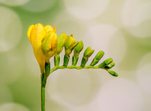 De gele fresiabloem, sluit omhoog, groene geïsoleerde bokehachtergrond, Royalty-vrije Stock Afbeelding