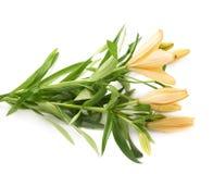 De gele geïsoleerde bloem van lelielilium Stock Foto's