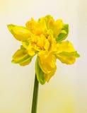 De gele gele narcissen (narcissen) bloem, sluit omhoog, geïsoleerde gradiëntachtergrond, Stock Fotografie