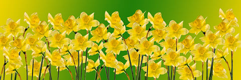 De gele gele narcissen (narcissen) bloemen, sluiten omhoog, geïsoleerde gradiëntachtergrond, Royalty-vrije Stock Foto
