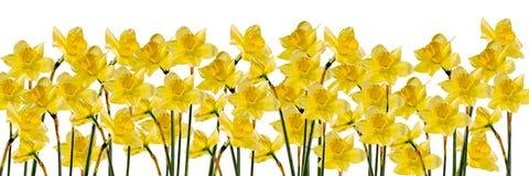 De gele gele narcissen (narcissen) bloemen, sluiten omhoog, geïsoleerde gradiëntachtergrond, Royalty-vrije Stock Afbeelding