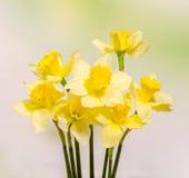 De gele gele narcissen (narcissen) bloemen, sluiten omhoog, groen aan gele gradiëntachtergrond Stock Foto
