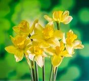 De gele gele narcissen (narcissen) bloemen, sluiten omhoog, groen aan gele gradiëntachtergrond Stock Afbeelding