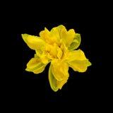 De gele gele narcissen (narcissen) bloemen, sluiten omhoog, textuurachtergrond Royalty-vrije Stock Afbeelding