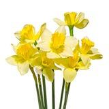 De gele gele narcissen (narcissen) bloemen, sluiten omhoog, witte geïsoleerde achtergrond, Royalty-vrije Stock Afbeelding