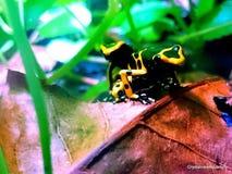 De gele gestreepte kikker van het vergiftpijltje Stock Foto