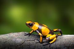 De gele gestreepte kikker van het vergiftpijltje, Oophaga-histrionica stock foto