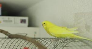 De gele golvende papegaai zit op een kooi van het huis stock footage