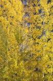 De gele Gouden Schokkende Bomen van de Esp Stock Afbeelding