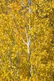 De gele Gouden Schokkende Boom van de Esp Stock Foto's