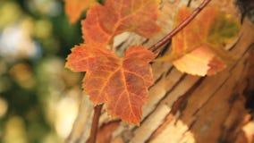De gele herfst doorbladert Het de herfstpark stock video