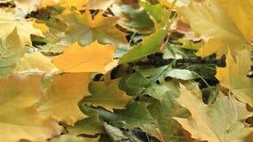 De gele herfst doorbladert Het de herfstpark stock videobeelden