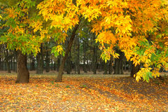 De gele herfst in het park Royalty-vrije Stock Foto's