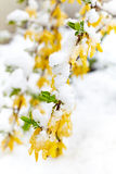 De gele het bloeien takforsythia is onder de sneeuw Stock Afbeeldingen
