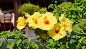 De gele hibiscus bloeit close-up Stock Afbeeldingen