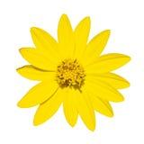 De gele hoogste mening van de madeliefjebloem in groen milieu Royalty-vrije Stock Foto