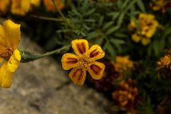 De gele hoogste mening van de tuinbloem Stock Foto