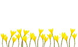 De gele Kleine Heksen van Lily Rain Lily Fairy Lily in de tuin na de regen Gele die lelieregen op witte achtergrond wordt geïsole stock afbeeldingen