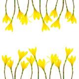 De gele Kleine Heksen van Lily Rain Lily Fairy Lily in de tuin na de regen Gele die lelieregen op witte achtergrond wordt geïsole royalty-vrije stock foto