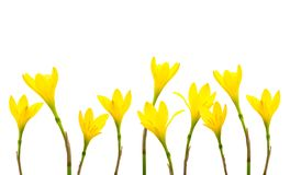 De gele Kleine Heksen van Lily Rain Lily Fairy Lily in de tuin na de regen Gele die lelieregen op witte achtergrond wordt geïsole royalty-vrije stock fotografie