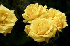 De gele kleur nam gebloeid in tuin toe Stock Afbeelding