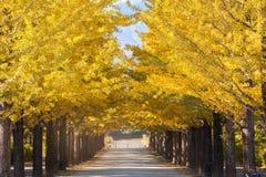 De gele kleur van Nice met ginkgoboom Stock Foto