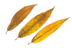 De gele kleuring van een wilg gaat in de herfst weg Royalty-vrije Stock Foto