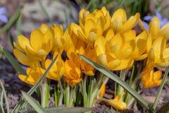 De gele krokussen sluiten omhoog Stock Foto's