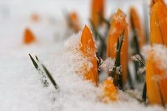De gele krokussenkrokus komt uit de sneeuw in de lente te voorschijn stock afbeelding