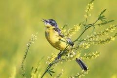 De gele Kwikstaart zingt het lied op de heldere de zomerweide stock foto's