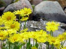 De gele Last van Leeuwen door Stroom Stock Foto's