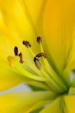 De gele lelie met bruine stamensclose-up royalty-vrije stock afbeelding